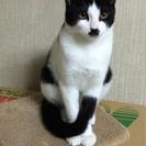 生後5か月ブチのオス子猫の里親募集