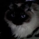 長毛で優雅なブルーアイの猫