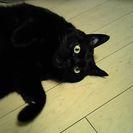 黒猫 体格がいいです。