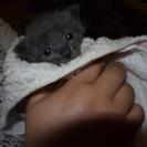 生後1週間くらいの子猫 里親募集