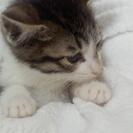 2月後半に生まれた子猫(ぴーたん(仮称))。里親募集!!最後の仔...