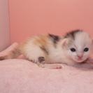 決まりました。授乳期 三毛♀ピンクちゃん