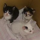 福岡の方! 子猫3匹の里親探しています。