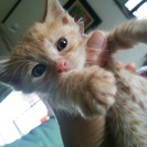 可愛い茶トラの赤ちゃん猫です(生後1か月過ぎ)2匹