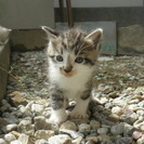 4月14日生まれの子猫の兄弟。里親さん決まりました。ありがとうご...
