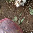 2ヶ月子猫、黒、三毛、白黒、グレー、計8匹。茨城県  皆元気です。