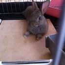 子ウサギ(1匹)の里親募集します。