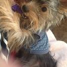 子犬のヨーキーとチワワ