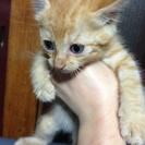 青森/むつ市 生後一ヶ月位の子猫です
