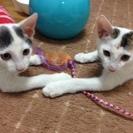 白とグレーの眉の子猫