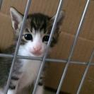 子猫3匹+3匹+3匹=9匹里親募集(キジシロホワイトソックス、白...