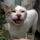 【里親決定】 灰白猫 オス 里親募集