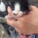 白黒仔猫の(1ヶ月)授乳アルバイト募集します。