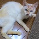 やや毛の長い薄茶のシャムっぽい猫