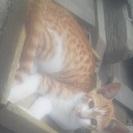 白茶(お腹が白、背中が茶トラ縞)の子猫(男の子。4か月。2匹)