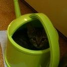 生後2か月のとっても可愛いい&やんちゃなキジ虎・オスです。 - 猫