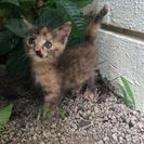 2か月のかわいい子猫の里親探してます。