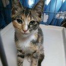 三毛猫のかわいい女の子です(生後約2か月)