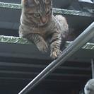 キジトラちゃん5ヶ月くらい♪ - 猫