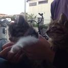 [至急]子猫の里親になってくれる方