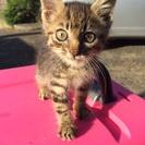 2ヶ月ぐらいの虎柄子猫( ^ω^ )里親様募集中です‼︎‼︎‼︎