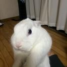 生後一年半のウサギの里親募集します。