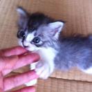 甘えん坊のかわいい子猫。里親さん募集!