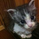 じゃれるの大好きな可愛い子猫です!の画像