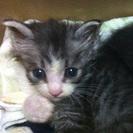 じゃれるの大好きな可愛い子猫です! - 天草市