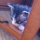 じゃれるの大好きな可愛い子猫です! - 猫