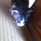 じゃれるの大好きな可愛い子猫です! − 熊本県