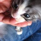 じゃれるの大好きな可愛い子猫です! - 里親募集