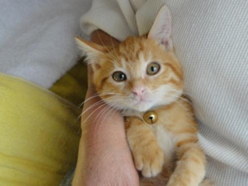 かわいい茶トラ猫ちゃんの里親さんを募集しますの画像