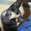 人の膝の上が大好きなサビ猫の子猫(メス)です