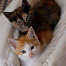 子猫2匹の里親さんを探していますの画像