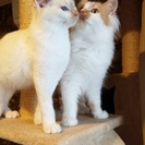 おとなしく上品な癒し系のマロンとレオン兄弟(オス・4ヶ月)