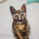 愛嬌たっぷりのかわいいサビ猫(生後5ヶ月)