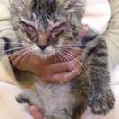 不運な時間を過ごした子猫の里親さん募集①キジトラのひよすけ♀