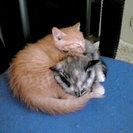 平成26年9月20日生まれの猫の里親を募集しています。茶虎♂2匹、他