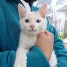 ブルーアイの男の子、2.5ヶ月の子猫です。とっても人懐こいです!
