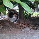 三毛の子猫(メス)の里親募集です。