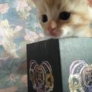 【再募集】11/6生まれの子猫もらってください♪【無料】