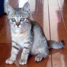 【キジトラ子猫2ヶ月】おめめの大きな甘えん坊です