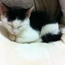 白黒仔猫の里親を募集しています。