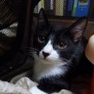 4ヶ月の男の子です。呼び名はトム、黒白のとってもハンサムボーイです。