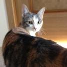 可愛い三毛猫女の子不妊手術済み7か月の里親になってください。