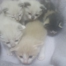 11月26日生まれの子猫ちゃんの里親募集