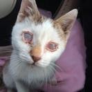 目の不自由な子猫の里親を募集しています