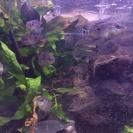 サウスアメリカンシクリッド Colombia Wild F1幼魚