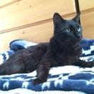 預かりボランティア(里親)募集 推定7歳の人なれ抜群の黒猫…